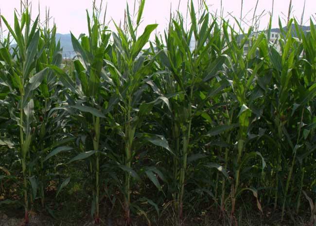 玉米育种技术
