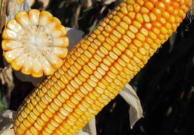 选择玉米种子品种时要注意哪些问题?