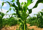 玉米田除草剂的使用方法