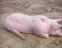 常见猪病免疫程序及养猪场消毒方法资料下载