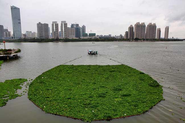 惠州水浮莲成灾