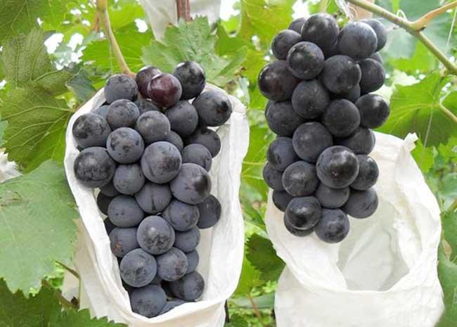 夏黑葡萄原产地