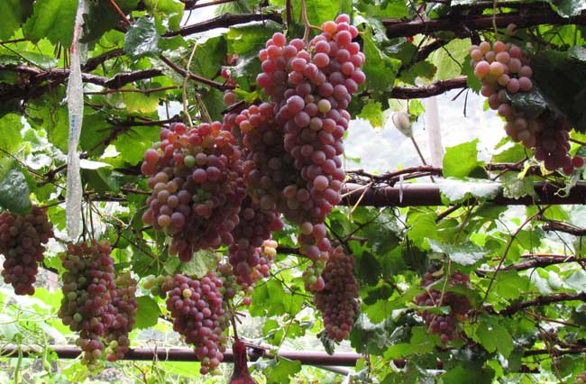 孕妇能吃葡萄吗?