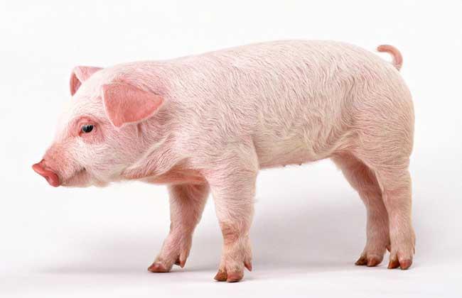 常见猪病防治技术