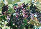 夏黑葡萄原产地是哪里?