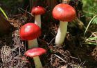 红菇的产地分布