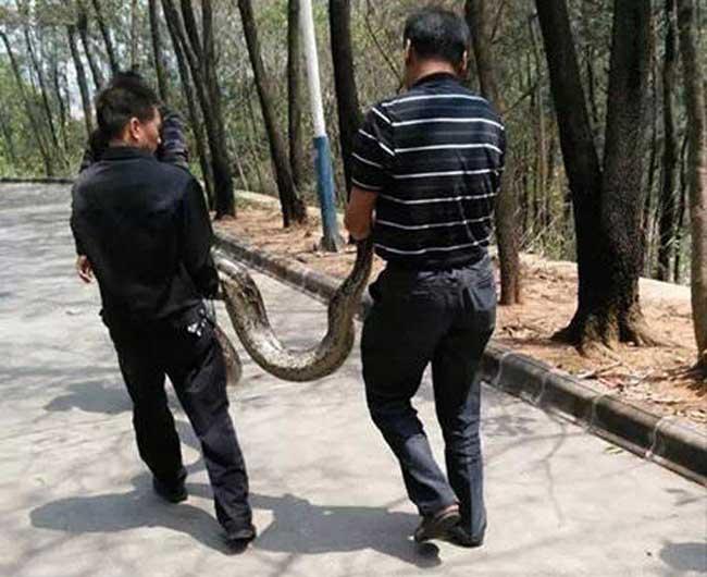 东莞2米长巨蟒惊现公园