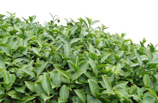 茶叶种植条件