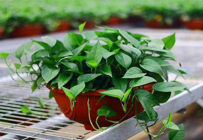 绿萝花语是什么?