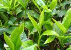 茶叶种植条件有哪些?
