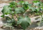 黄瓜种子怎么种?
