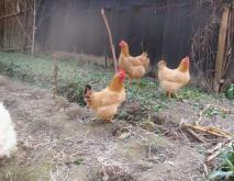 土鸡养殖技术资料下载