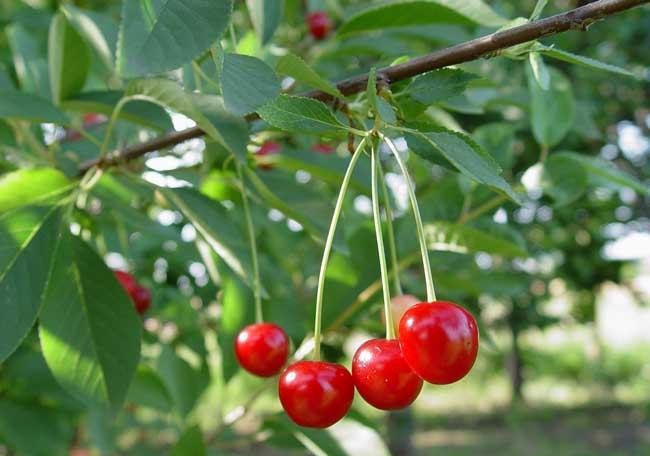 樱桃树苗种植时间是什么时候?