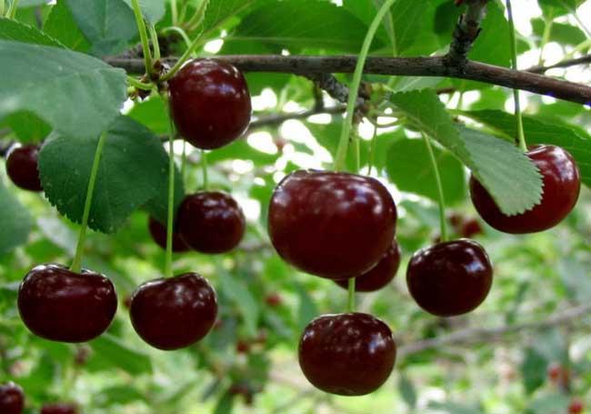 樱桃树苗种植时间