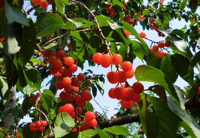 樱桃怎么保存时间长?
