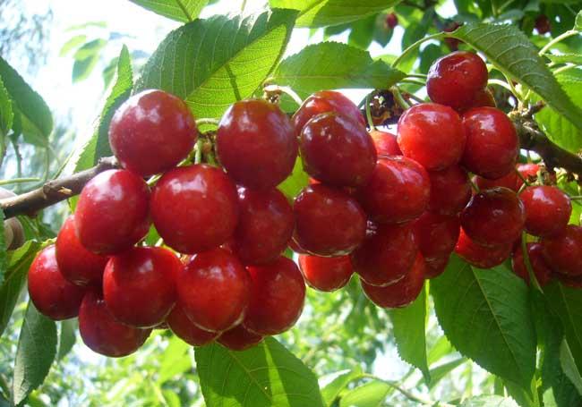 吃樱桃的好处和坏处