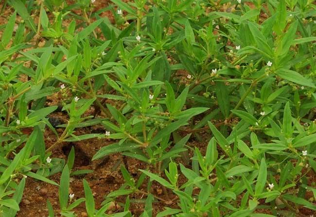 白花蛇舌草的功效与作用