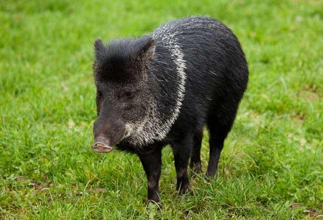 野猪养殖的市场前景