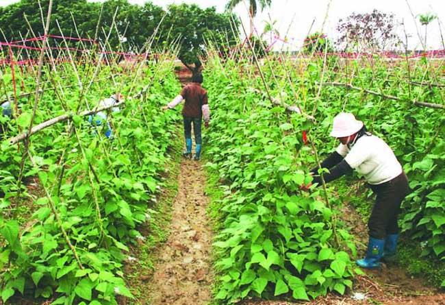 四季豆种植技术