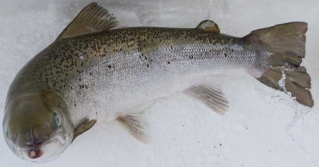 三文鱼的营养价值