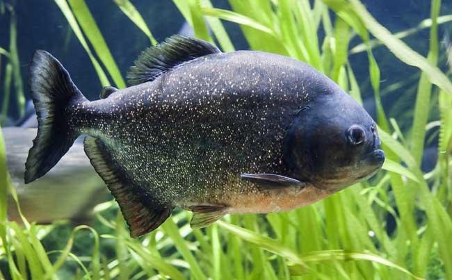 食人鱼有天敌吗?