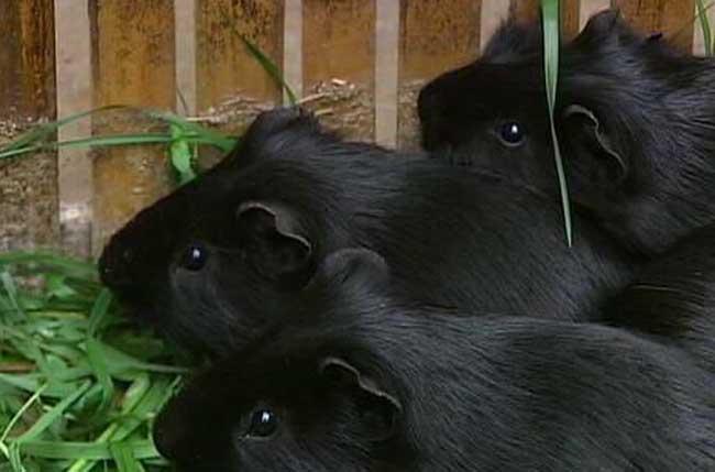 黑豚鼠养殖前景