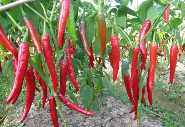辣椒种植时间