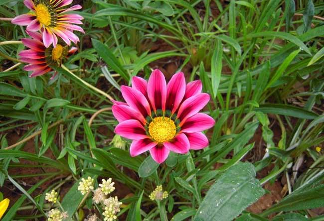 勋章菊的种植方法