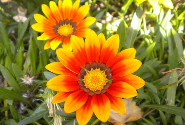 勋章菊的种植方法(2)