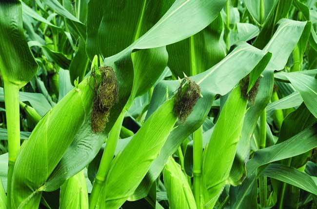 玉米的种植时间