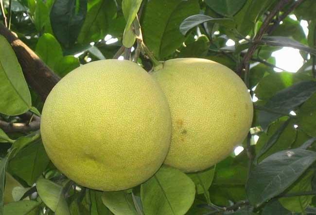 柚子树几年结果