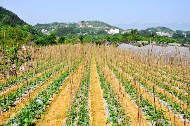 四季豆的种植时间