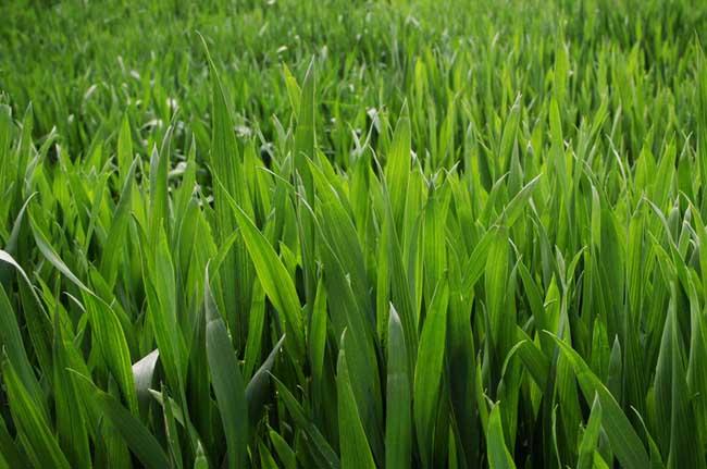 春小麦和冬小麦的区别