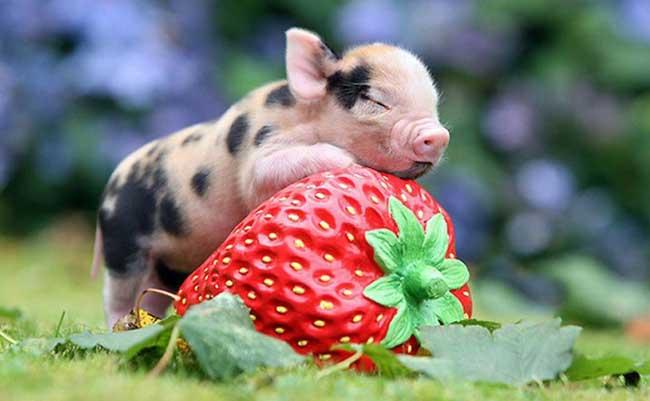胡利亚尼猪(
