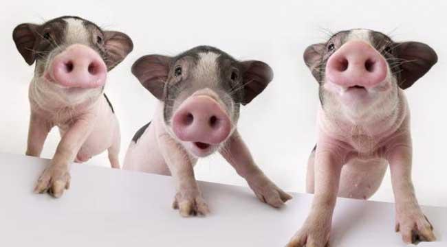 胡利亚尼猪