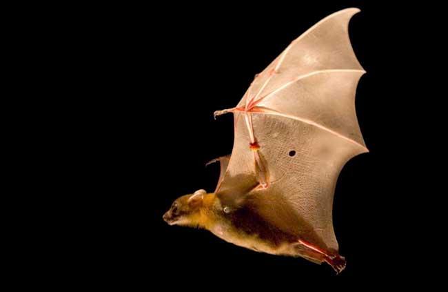 蝙蝠是鸟类吗