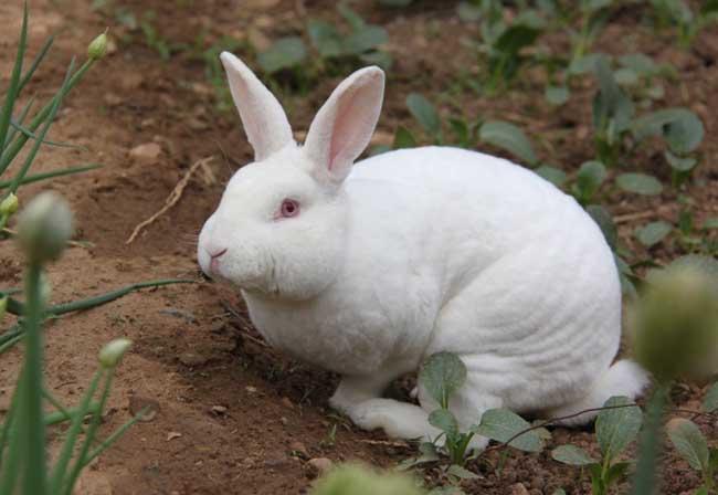 獭兔养殖技术资料下载