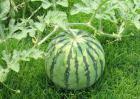 西瓜是酸性还是碱性的?