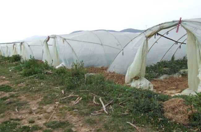 麒麟西瓜种植技术
