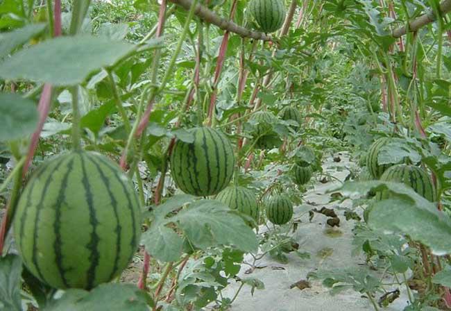 【西瓜种植技术视频】西瓜种植技术