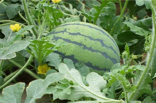 无籽西瓜的生长与普通西瓜大体相同,因此,它的栽培技术与普通西瓜接近,但无籽西瓜也有许多独有的特点,如种子发芽率低,成苗率低,前期生长缓慢,中后期生长旺盛,花粉败育,自然坐果率低等。因此,在栽培管理上要采取相应的技术措施,才能获得高产高效。