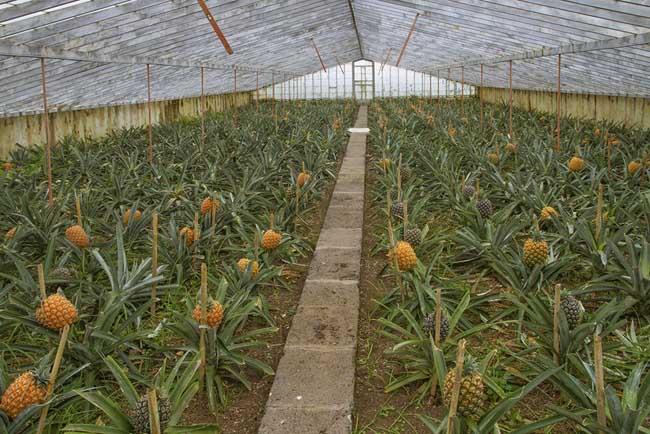菠萝种植管理技术