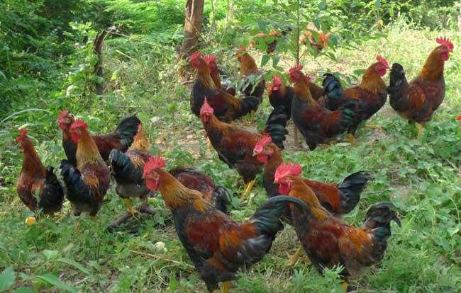 养殖虫子鸡