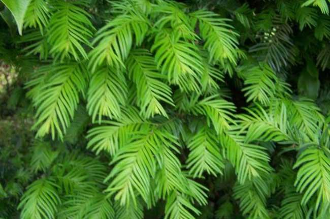 红豆杉养殖方法