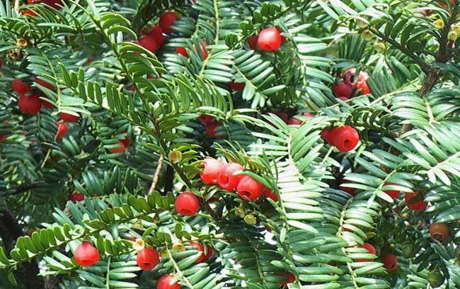 红豆杉的功效与作用