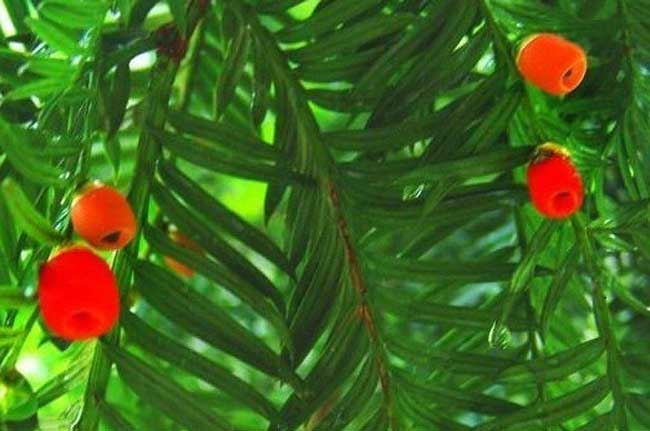 紅豆杉的功效與作用