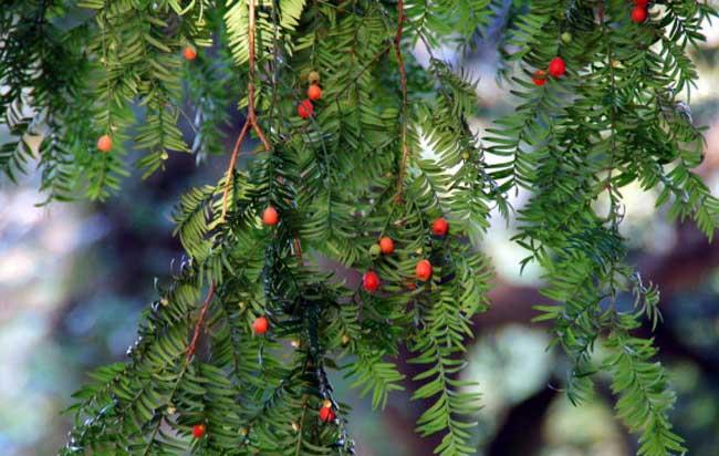 红豆杉的功效与作用有哪些?