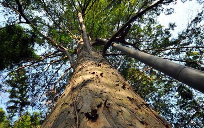 红豆杉的产地