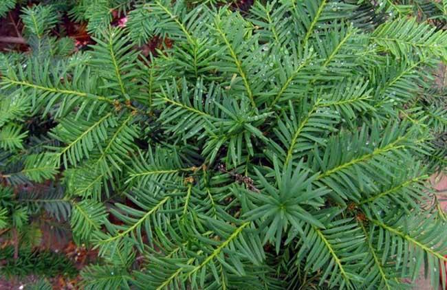 红豆杉的养殖方法