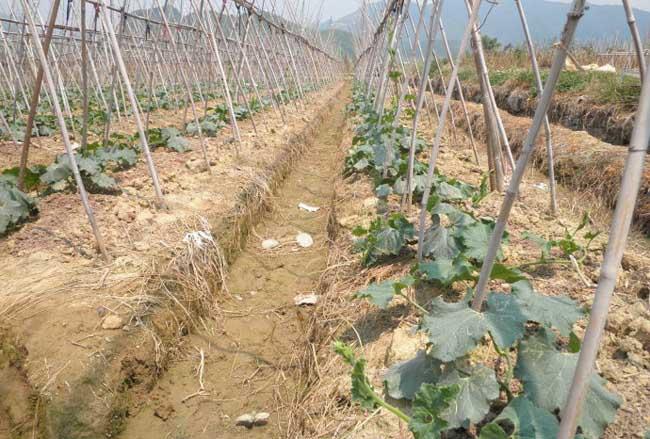 冬瓜的种植时间